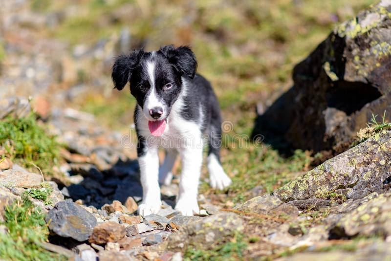 Border Collie puppy in the Forest. royalty free stock photos