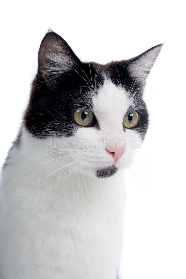 Cute black and white cat. Close up portrait of cute black and white cat, isolated on white background stock image