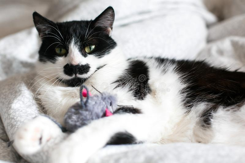 Cute black and white cat with moustache playing with mouse toy on bed. Funny kitty resting and playing on stylish sheets. Space stock images