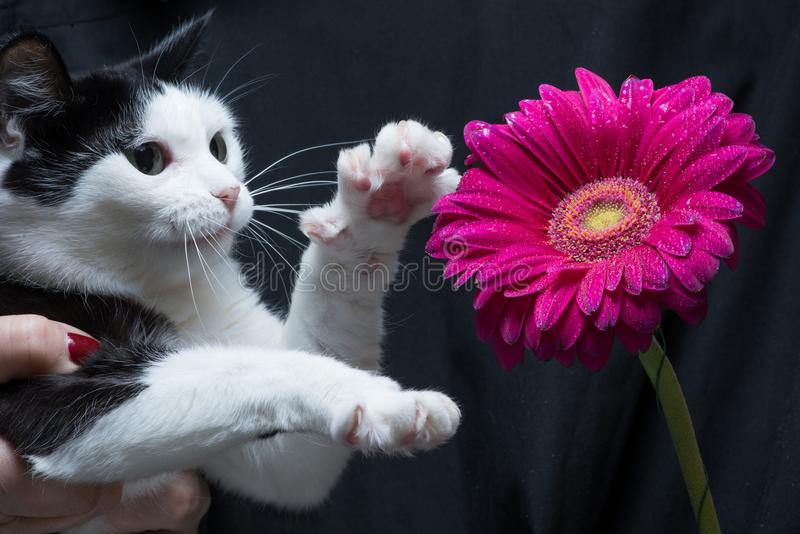 Cute black and white cat touches flower with paw sitting on hands of mistress royalty free stock photo