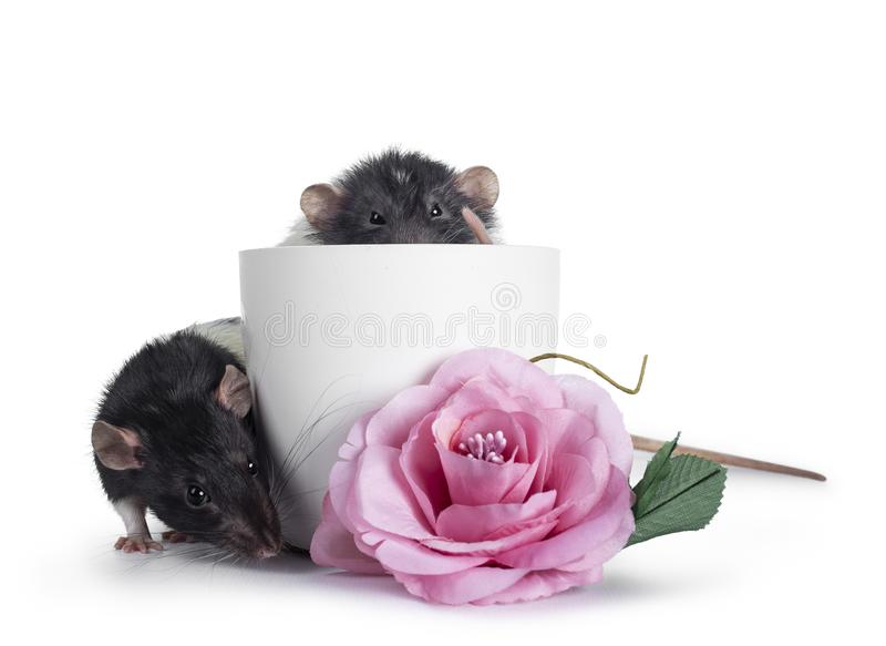 Cute black and white dumbo rats on white background. royalty free stock images