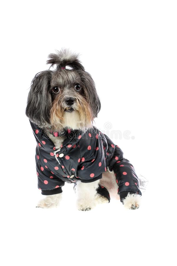 Cute black, white and grey Bichon Havanese dog dressed with warm, winter coat with legs in dark navy blue color on pink dots. Dog royalty free stock photography