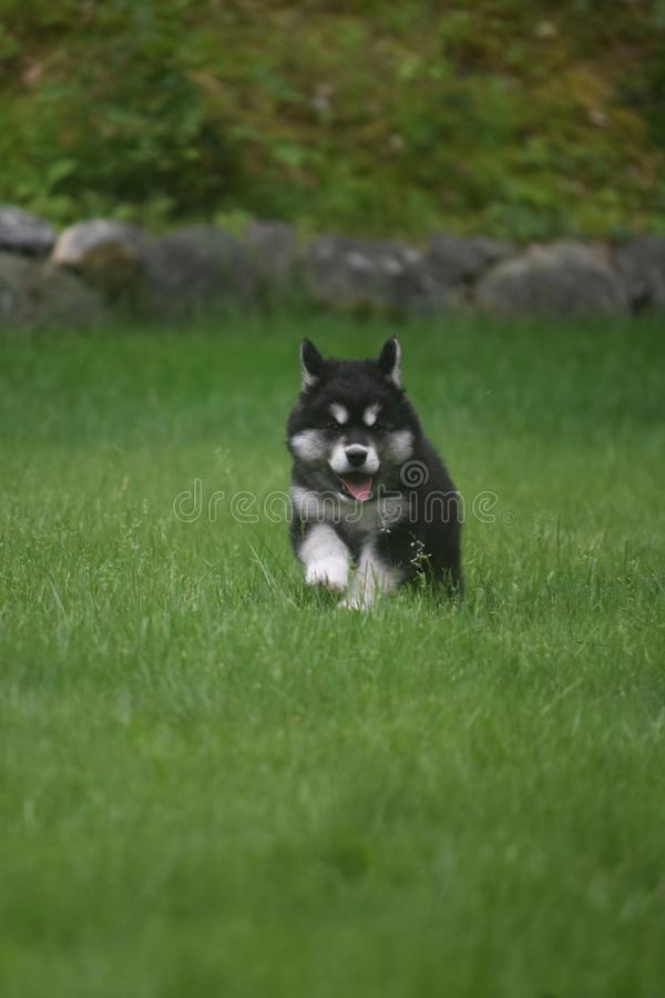 Cute black and white husky puppy running in a field stock images