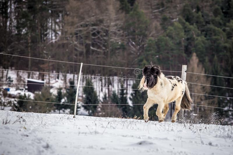 Cute black and white pony walking in the snow stock photography