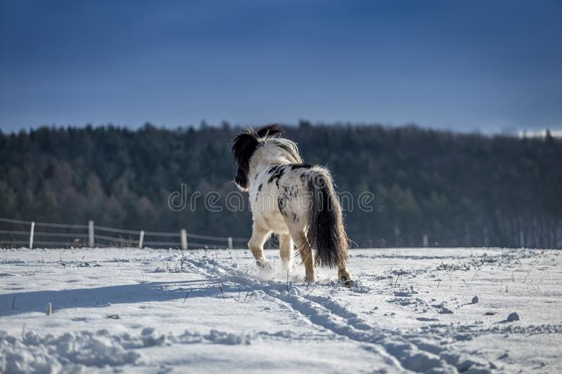 Cute black and white pony walking in the snow stock images