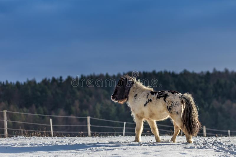 Cute black and white pony walking in the snow royalty free stock image