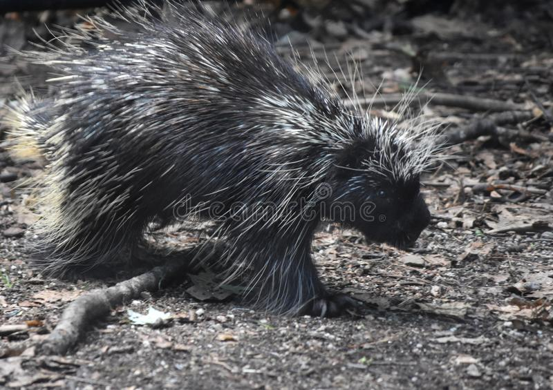 Cute black and white porcupine walking over a stick stock photos