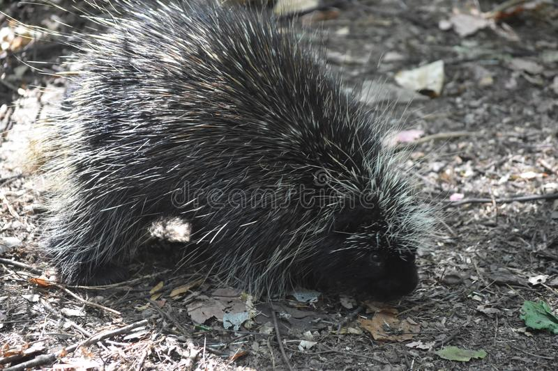 Wild black porcupine walking around the woods stock images