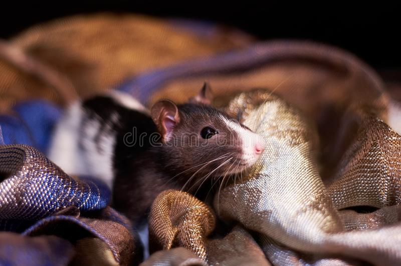 Cute black and white rat in a scarf