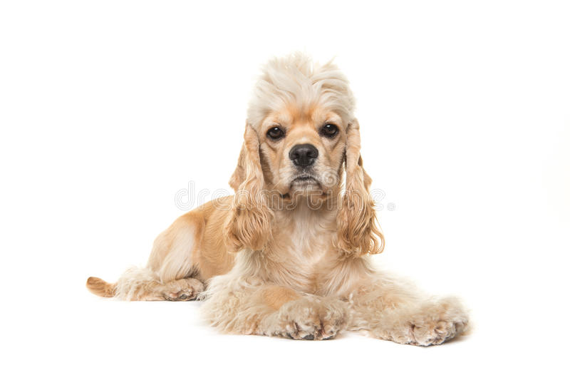 Cute blond adult cocker spaniel dog lying down. On the white floor facing the camera isolated on a white background stock photography
