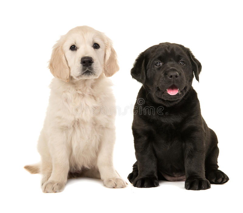 Cute blond golden retriever and black labrador retriever puppy. Cute blond golden retriever puppy and black labrador retriever puppy sitting next to each other stock photos