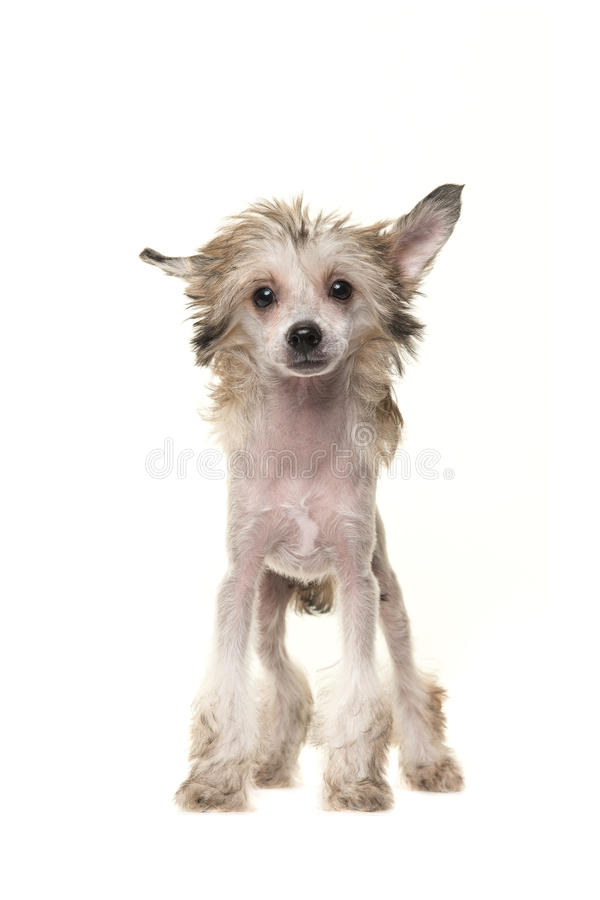 Cute blond standing naked chinese crested dog. Cute blond naked chinese crested dog standing and facing the camera isolated on a white background royalty free stock images