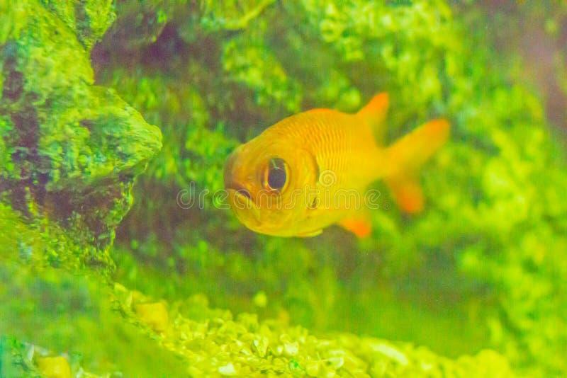 Cute Blotcheye soldierfish (Myripristis murdjan) is swimming in royalty free stock photos