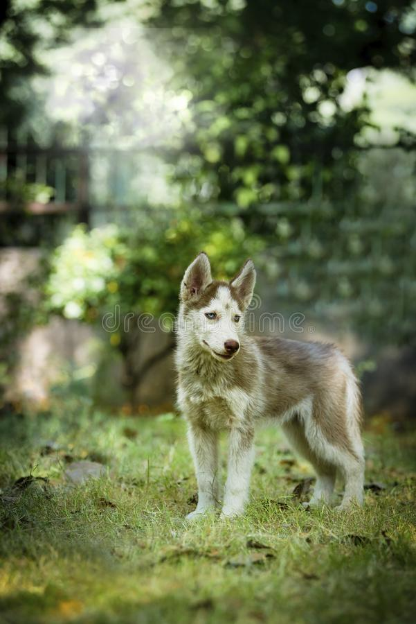 Beautiful Husky Puppy. Cute blue eye siberian husky puppy standing and looking around royalty free stock image