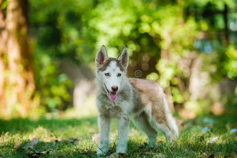Blue eyed Siberian Husky Puppy standing. Cute blue eye Siberian husky puppy standing and looking around in a local park royalty free stock photos
