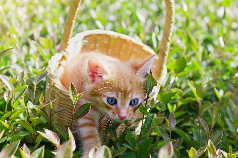 Cute blue-eyed kitten trying to get out of the basket stock photos