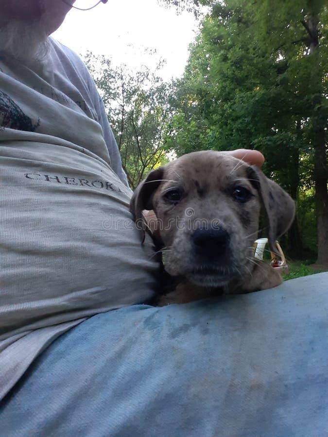 Cute blue eyed puppy stock photo