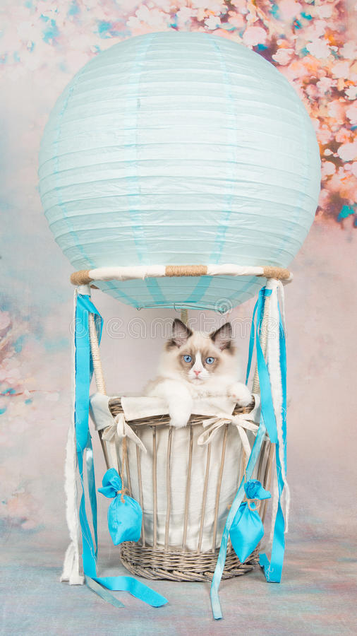 Cute blue eyed ragdoll baby cat in a blue air-balloon on a romantic background royalty free stock photography