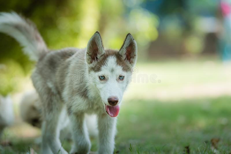 Beautiful Blue eyed Siberian Husky Puppy. Cute blue eyed Siberian husky puppy approaching forward royalty free stock photography