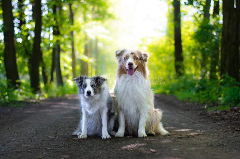 Cute blue merle border collie dog and red merle australian shepherd sitting on the road in the forest in sunny day. royalty free stock images