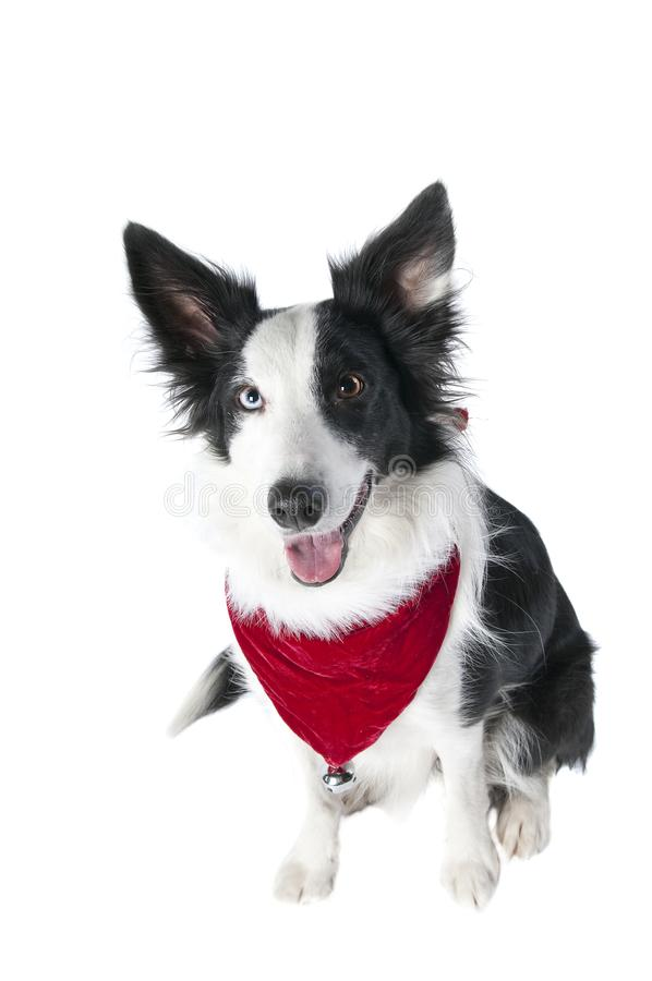 Border Collie Dog in Holiday Christmas Attire isolated on white. Cute Border Collie Dog in Christmas Holiday bandana scarf isolated on white looking at camera royalty free stock images