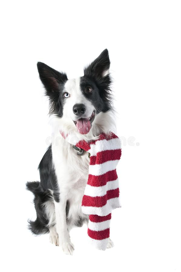 Border Collie Dog in Holiday Christmas Attire isolated on white royalty free stock images