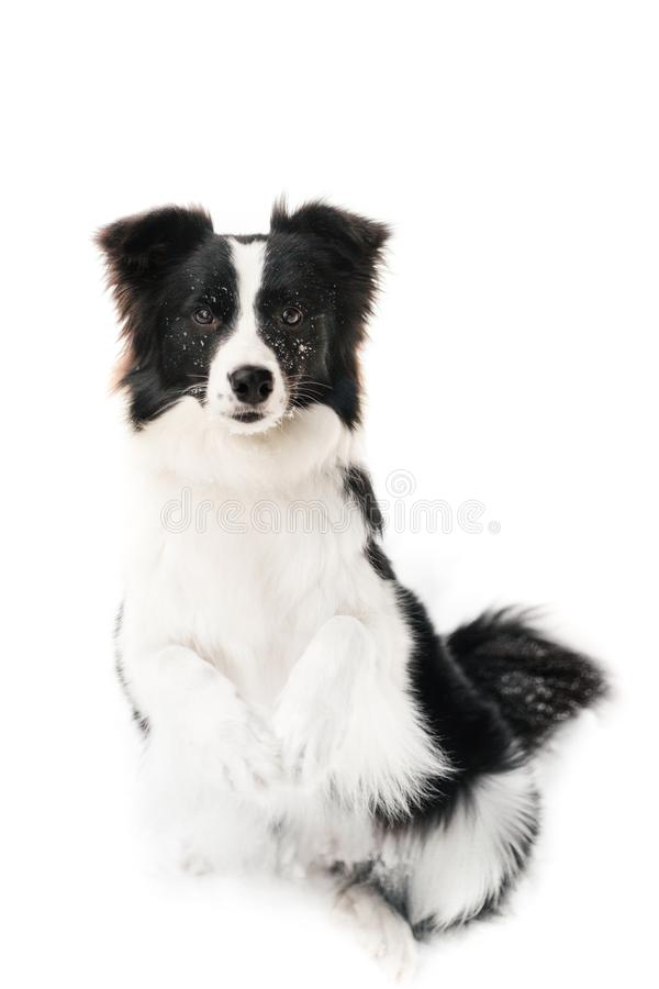 Cute border collie dog portrait on white background royalty free stock photo
