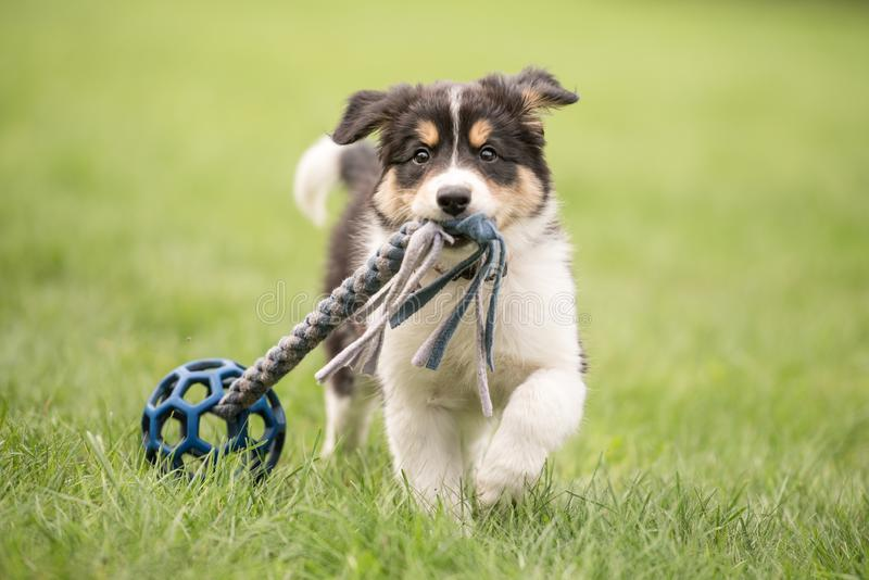 Cute Border collie dog puppy runs happily with a toy and plays. Border collie dog puppy runs happily with a toy and plays royalty free stock photography
