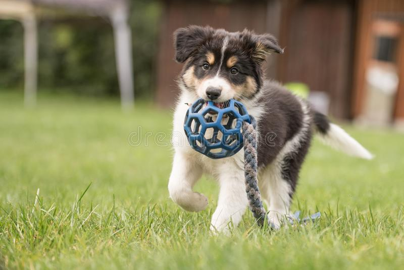 Cute Border collie dog puppy runs happily with a toy and plays. Border collie dog puppy runs happily with a toy and plays royalty free stock image