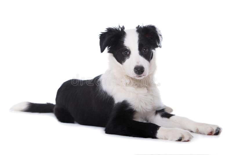 Cute border collie puppy lying on white background royalty free stock photography