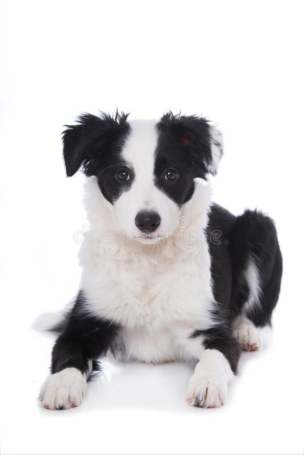 Cute border collie puppy lying on white background royalty free stock images