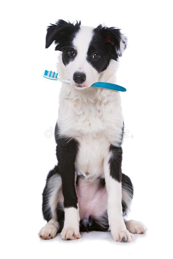 Cute border collie puppy with toothbrush royalty free stock image