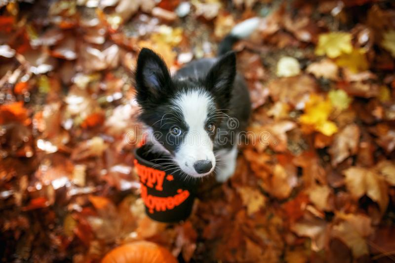 Cute border collie puppy waits for treats royalty free stock image