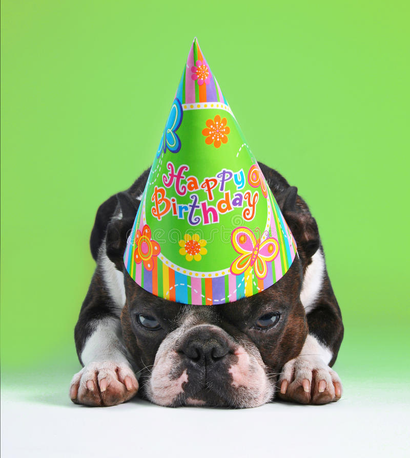 A cute boston terrier with a birthday hat on pouting on a green background. A boston terrier with a birthday hat on stock image