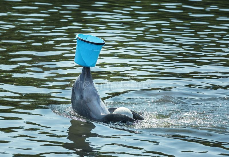 Cute bottlenose dolphin playing with blue bucket royalty free stock image