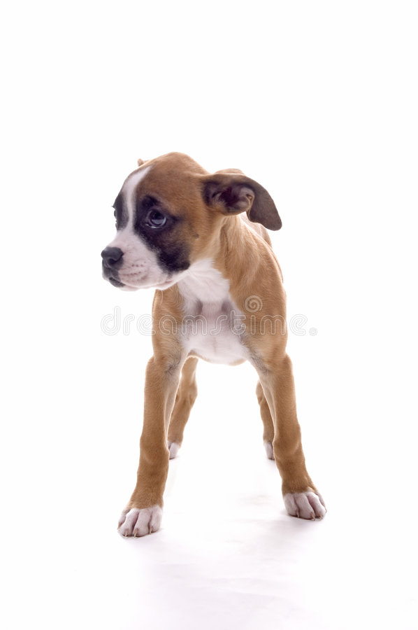 Cute Boxer royalty free stock photo