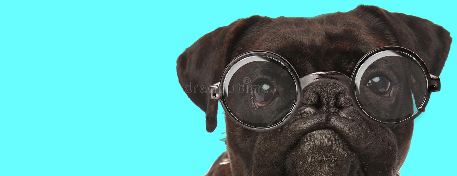 Cute Boxer dog wearing eyeglasses and showing a grumpy face royalty free stock images