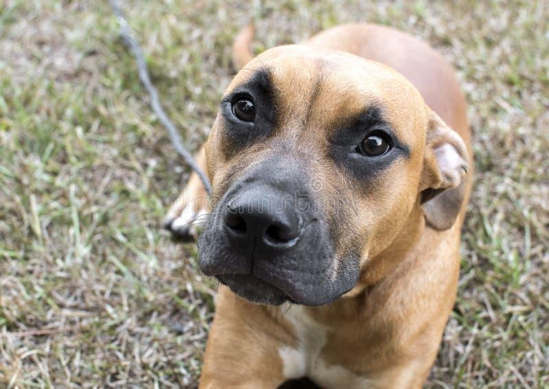 Cute boxer e pitbull misturam cachorrinho com olhos tristes imagem de stock royalty free