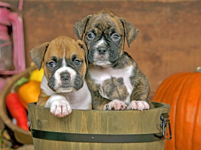 Cute Boxer puppies. Two Boxer Puppies sitting together in wooden bucket royalty free stock photo
