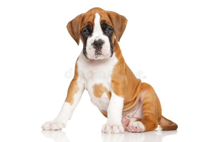 Cute Boxer puppy on white royalty free stock images