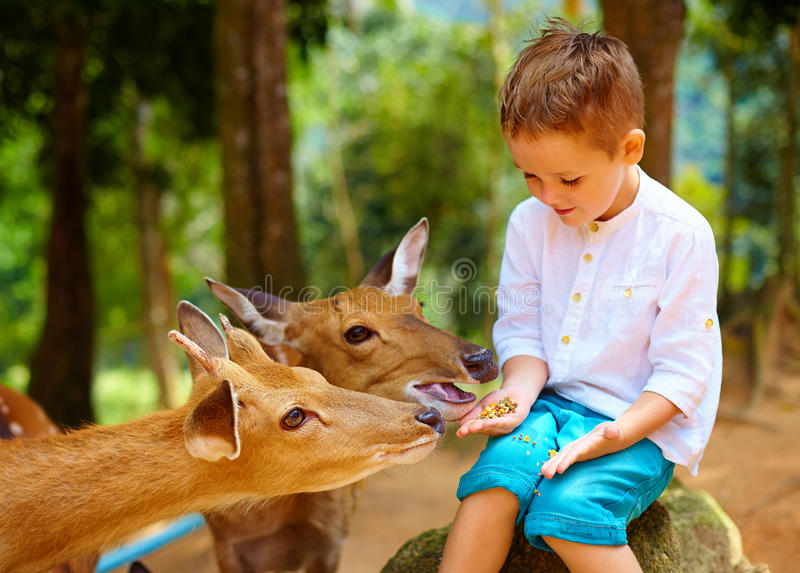 Cute boy feeding young deers from hands. focus on deer stock image