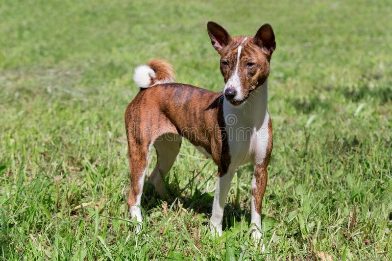 Cute brindle basenji puppy is standing on a green grass. Pet animals stock image