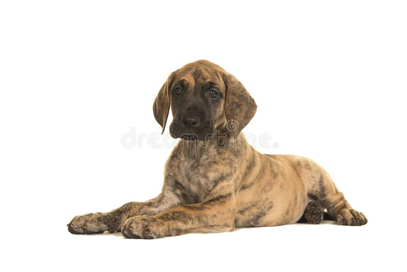 Cute brindle great dane puppy lying down isolated on a white background stock photography