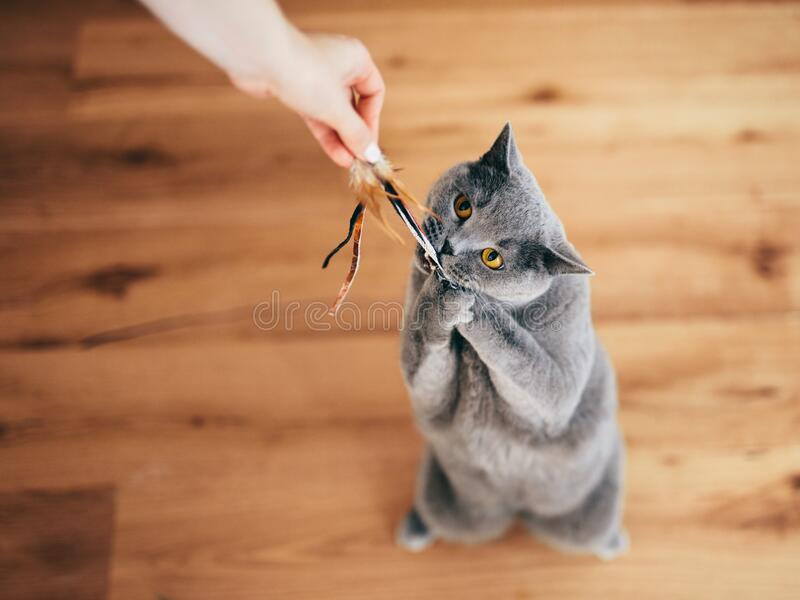 Cute British cat playing with rod toy held by a woman hand stock photography