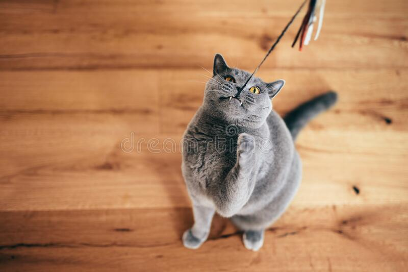Cute British cat playing with rod toy holding it with teeth stock image