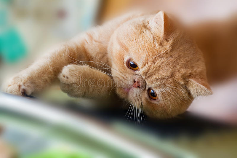 Cute British CPA Cat Scratching Stock Images