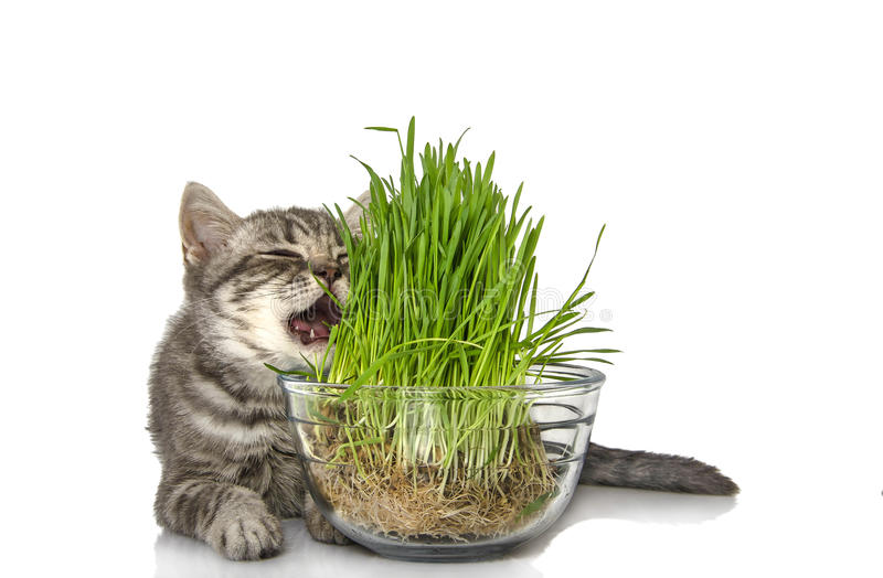 Cute British kitten eats grass on the white royalty free stock photos