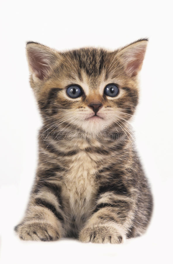 Cute british shorthair kitten isolated royalty free stock photos
