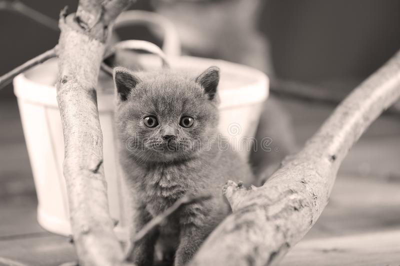 Cute kittens up on a branch. Cute British Shorthair kittens climbing on a tree, white background stock images