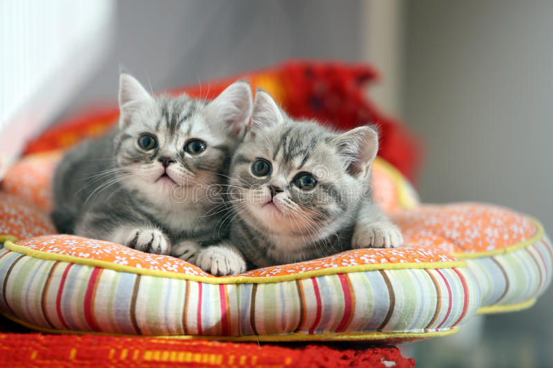 Cute British Shorthair kittens looking above. British Shorthair babies lying on a pillow, close-up portrait royalty free stock photo